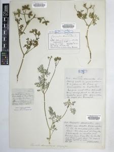 Caucalis-platycarpos